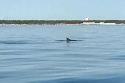 Delfini Punta Marina