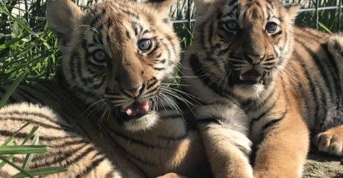 Tigri nate al parco safari