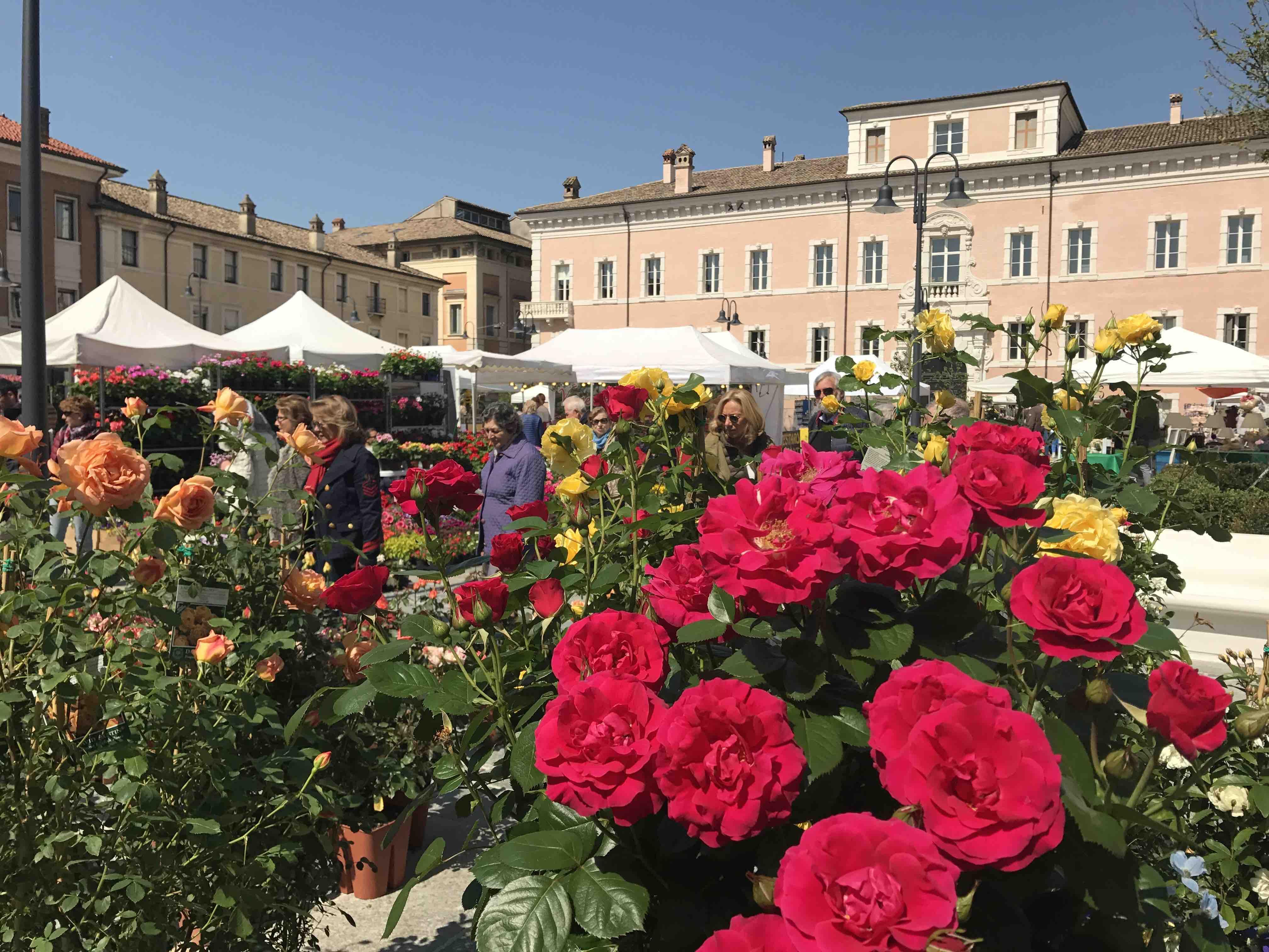 Rose Rampicanti Senza Spine ravenna in fiore: il centro storico si trasforma in un